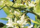 नींबू जति के पौधों में फूल झड़ जाते है, क्या करें।
