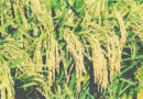 Kharif Crop Sowing Crosses 115.90 lakh Hectare Area
