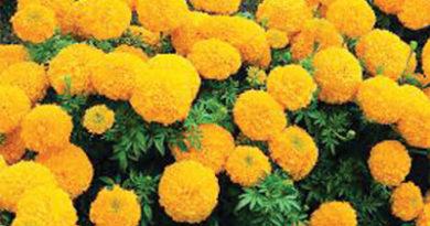 गेंदा के फूल की खेती करना चाहता हूं। इसकी खेती की जानकारी देने का कष्ट करें, संकर जाति के बीज कहां से उपलब्ध होंगे।