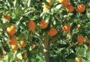 मेरे संतरे के पेड़ में फल पकने के बाद भी बहुत खट्टे हैं, मैं क्या करूं।