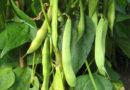सब्जी के लिए फ्रेन्चबीन (राजमा) की फसल पहली बार लगाना चाहता हूं, सुझाव दीजिए।