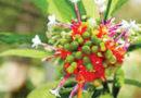 औषधीय एवं सुगन्धित फसलों की जैविक खेती