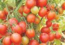 टमाटर की 18 किलो प्रति पौधा देने वाली जाति अर्का रक्षक के बारे में जानकारी दें।