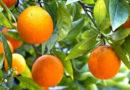 संतरा, माल्टा के रोग, रोकथाम
