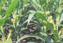 मक्का 'बेबी कॉर्न' की खेती करें