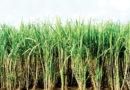 गन्ने के खेत में पायरिल्ला कीट फसल को प्रभावित करता है इसके नियंत्रण के उपाय बतायें।