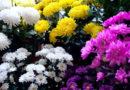 मैं गुलदावदी फूल की खेती करना चाहता हूं कब लगाएं, तकनीकी बतलायें।