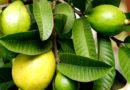 फलों में लोकप्रिय अमरूद लगाएं