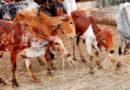 चारा की कमी से पशुओं के खान-पान पर असर