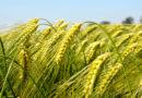 गेहूं एक ही खेत में बार-बार लगाना लाभदायक नहीं