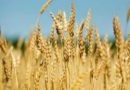 रबी फसलों की कुछ महत्वपूर्ण जानकारी