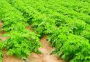 आलू बीज उत्पादन तकनीक