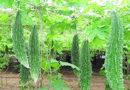 ककड़ी, करेला, कद्दू, टिंडे की पौध कैसे तैयार करें