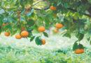 संतरा बागानों में फायटोप्थोरा रोग से बचाव