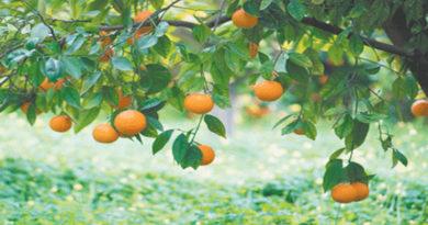 orange-plantations