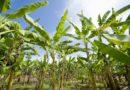 केले के बगीचे से किसान हुआ मालामाल