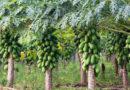 मध्यप्रदेश में पपीता की खेती