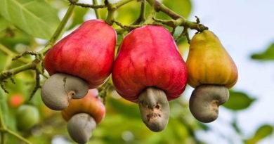 cashew will dominate in Madhya Pradesh