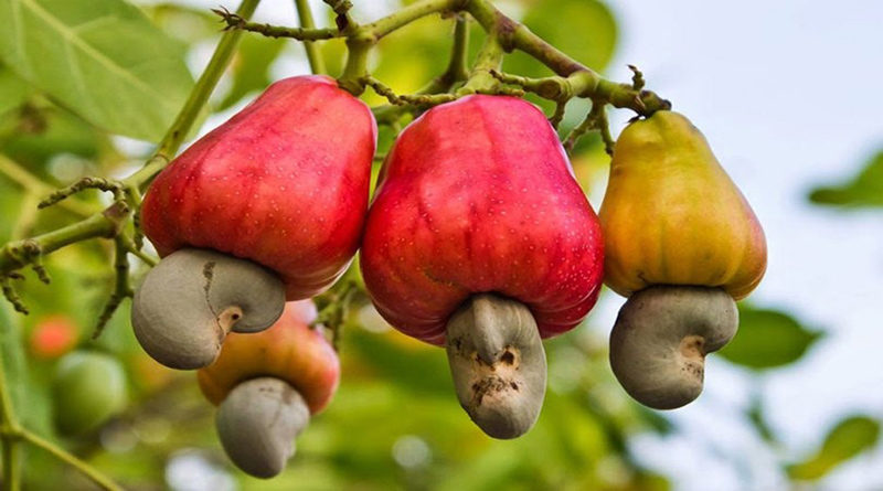 cashew will dominate in Madhya Pradesh