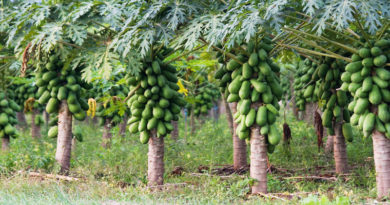 papaya-cultivation
