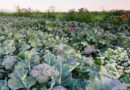 broccoli-farming