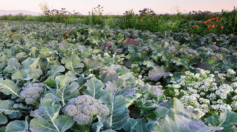 broccoli-farming