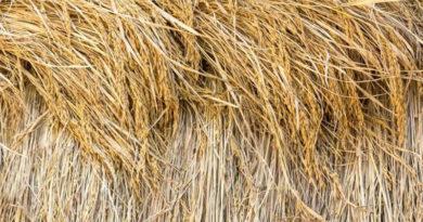paddy-straw