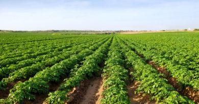 potato-crop