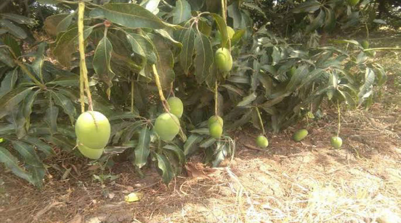 mango-plantation-after-rainy-season