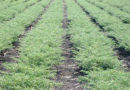 rabi-sowing