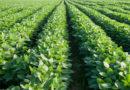 कहीं सोयाबीन के प्रति किसानों का मोहभंग न हो जाये