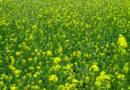 जायद में तिलहनी फसलों की खेती, आज की आवश्यकता