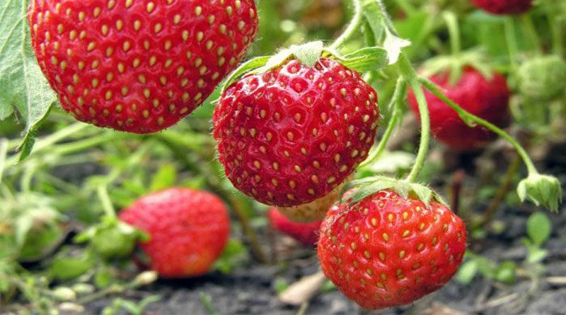 स्ट्राबेरी मैदानी इलाकों में भी लगती है