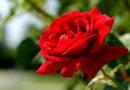 खिला गुलाब नहीं मिलने का कारण