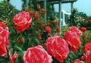 गमले में गुलाब लगाना