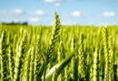 whrat crop