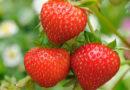 सब्जी और स्ट्राबेरी उत्पादन में विविधता