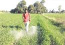 गेहूं में बीमारी से किसान चिंतित