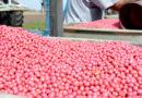 सब्जी की जैविक खेती में बीज उपचार महत्वपूर्ण