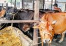 डेयरी पशुओं में बांझपन कारण और प्रबंधन