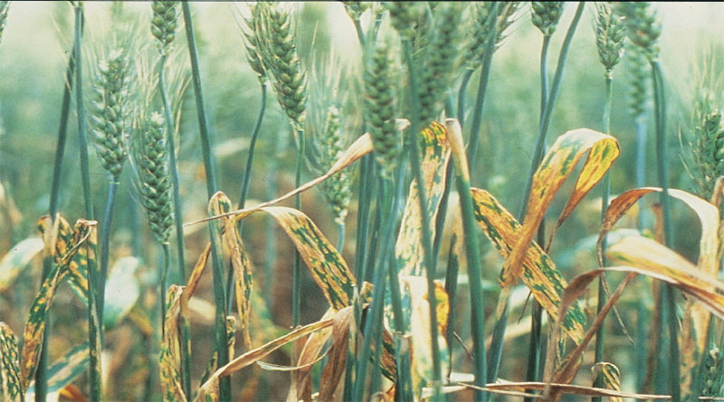 Yellow_spot on wheat