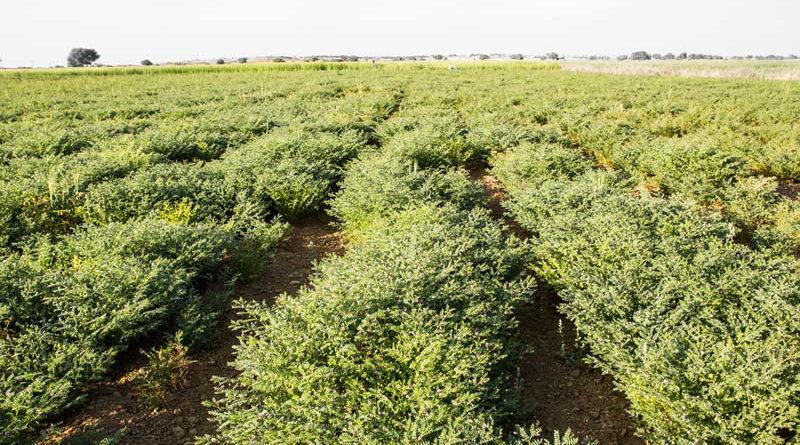 चने की फसल में क्या सिंचाई करना उपयुक्त होगा, काली मिट्टी वाला खेत है।