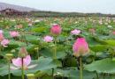कमल के फूलों से गुलज़ार गुलावट बना पर्यटन केंद्र