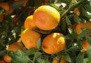 मैंने संतरे के खेत में दो कतारों के बीच हल्दी लगाई है जो 7 माह की हो गई है। पत्तों पर भूरे धब्बे दिख रहे हैं क्या उपचार करें