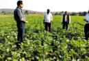 सिंचाई बाद यूरिया 25 किलो प्रति एकड़ छिड़कें
