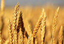 खाद्यान्न का होगा बंपर उत्पादन