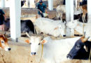 गायों को भी चाहिए कोबॉल्ट, कॉपर, क्लोरीन