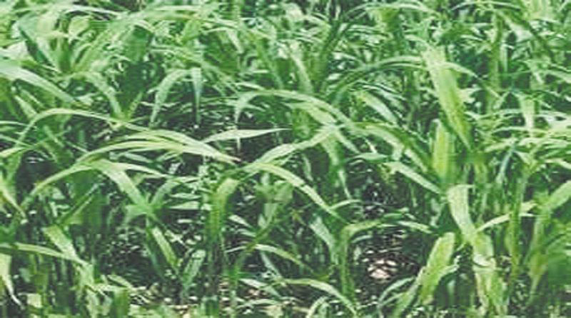 hybrid-sorghum-sudangrass