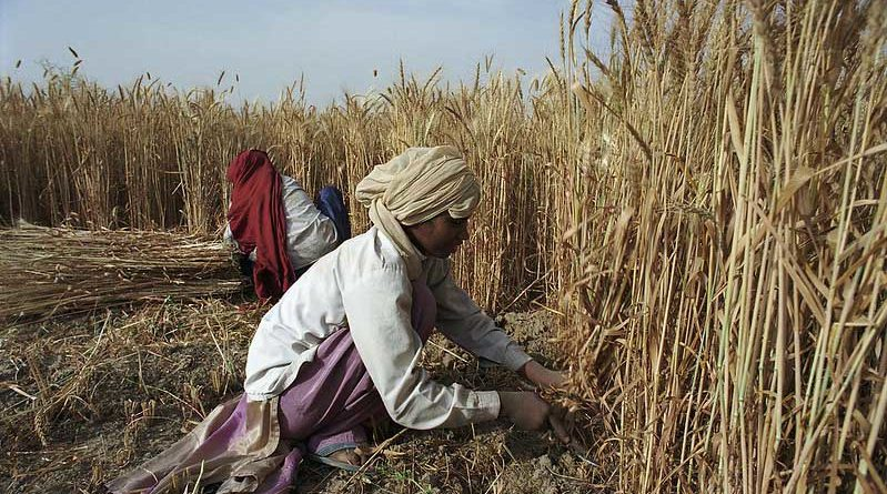 किसानों से समर्थन मूल्य पर गेहूँ की खरीदी आज से: मध्य प्रदेश
