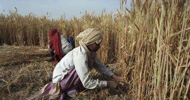 मध्य प्रदेश में चार लाख 25 हजार किसानों से खरीदा गया 19 लाख 74 हजार एमटी गेहूँ